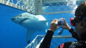 plonger-cage-avec-requins